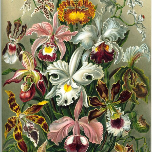 1534px-Haeckel_Orchidae