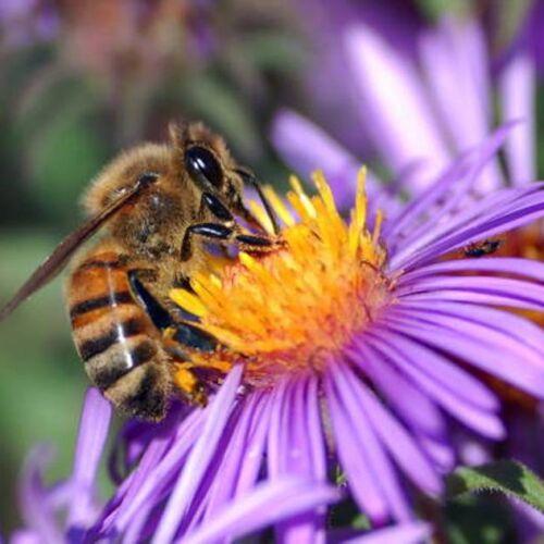 bee_European_honey_extracts_nectar_public_domain_500px - Copy